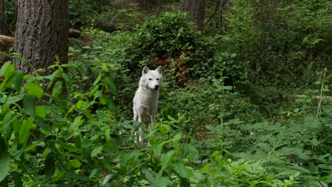 White-Wolf-In-Woods